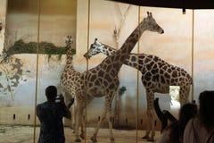 Rothschild's giraffes (Giraffa camelopardalis rothschildi) at Prague Zoo Stock Images