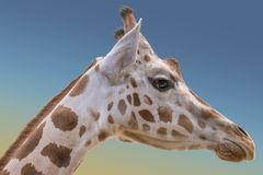 Rothschild`s and reticulated giraffes Royalty Free Stock Image