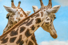 Rothschild`s and reticulated giraffes Royalty Free Stock Photo