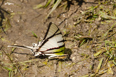 Rothschilds Swordtail Butterfly on Mudflat Stock Photos