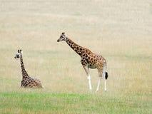 Rothschild żyrafa Zdjęcie Royalty Free
