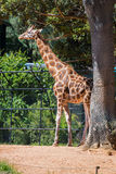 rothschild żyrafy s Zdjęcie Royalty Free