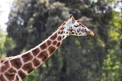 Rothschildgiraf, één van negen ondersoorten in Afrika, langst van de landzoogdieren stock foto's