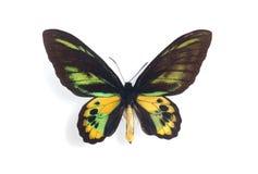 Rothschildi de Ornithoptera Fotografia de Stock Royalty Free