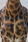 Rothschildi di camelopardalis del Giraffa Fotografie Stock Libere da Diritti