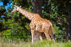 Rothschilds Giraffe lizenzfreies stockfoto