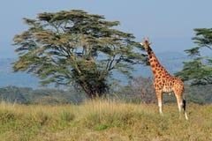 Rothschilds giraffe Stock Photos
