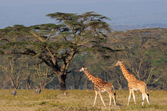 Rothschilds giraffes Royalty Free Stock Photo