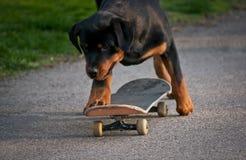 Rothweiler på skateboarding Arkivbilder