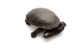 Roti Island Snake-necked Turtle Royalty Free Stock Image
