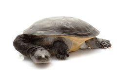 Roti Island Snake-necked Turtle Stock Photography