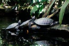 Free Roti Island Snake-necked Turtle Stock Photography - 140049452