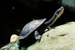 Roti Island snake-necked turtle. The Roti Island snake-necked turtle, also commonly known as McCord`s snakeneck turtle, is a critically endangered turtle species royalty free stock image