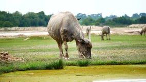 a rotina diária dos búfalos está nadando o banho de sol e está comendo a grama nos conceitos agrícolas ou dos rebanhos animais video estoque