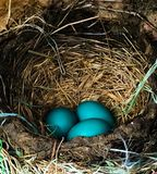 Rotkehlchen-Ei-Blau stockfotos