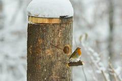 Rotkehlchen im Schnee stockfoto