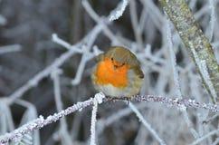 Rotkehlchen im vinter Royaltyfri Fotografi