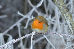 Rotkehlchen im Winter Royalty Free Stock Photography
