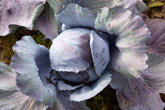 Rotkohl im Garten Lizenzfreie Stockfotos