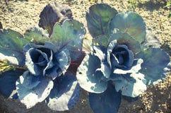 Rotkohl im Gemüsegarten Lizenzfreie Stockbilder