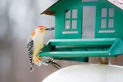 Rotkopfspecht auf Vogel-Zufuhr Stockfotografie