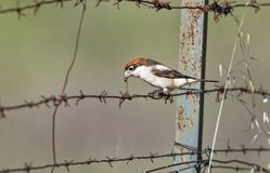 Lanius senator, Woodchat Shrike. Rotkopfwürger, Lanius senator, Woodchat Shrike royalty free stock photography