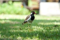 Rotlappenkiebitz, der in einer Rasenfläche steht stockbild