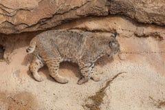Rotluchs in den Felsen Stockbild