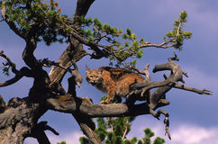 Rotluchs im Baum Lizenzfreie Stockbilder