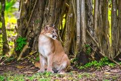 Rotluchs im Dschungel Lizenzfreie Stockfotos
