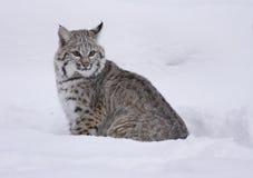 Rotluchs im tiefen weißen Schnee Stockfotografie