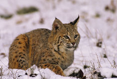 Rotluchs im Winter Stockbild