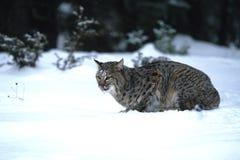 Rotluchs-Jagd im Schnee Stockfotos