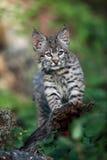 Rotluchs-Kätzchen Stockfotografie