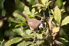 Rotohrbülbül hockte auf einem Baumast mit grünen Blättern Stockfoto