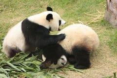 Rotolamento degli orsi di panda gigante (Ailuropoda Melanoleuca) Fotografie Stock