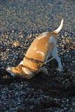 Rotolamento del cane sulla spiaggia Immagini Stock