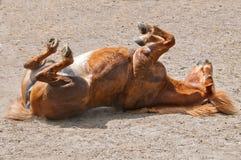 Rotolamento del cavallo Fotografia Stock