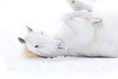 Rotolamento del cavallo bianco Fotografie Stock Libere da Diritti