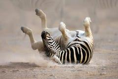 Rotolamento della zebra Immagine Stock