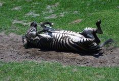 Rotolamento della zebra fotografie stock