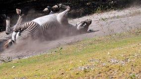 Rotolamento della zebra del Grevy nella polvere Immagini Stock Libere da Diritti
