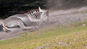 Rotolamento della zebra nella polvere Immagini Stock Libere da Diritti