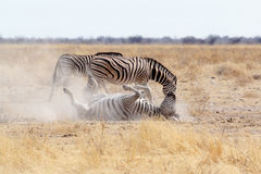 Rotolamento della zebra sulla sabbia bianca polverosa Fotografia Stock