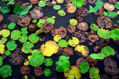 Rotolamento di cristallo dell'acqua sul foglio Colourful del loto immagini stock