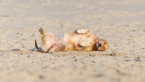 Rotolamento felice del cane - retreiver dorato Immagini Stock