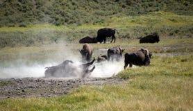 Rotolamento selvaggio del bisonte americano Fotografia Stock Libera da Diritti