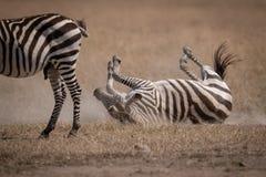 Rotoli della zebra delle pianure su erba dietro un altro immagini stock libere da diritti