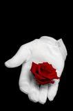 Rotrose angehalten in einem weißen Handschuh lizenzfreies stockfoto