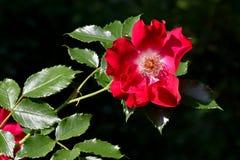 Rotrose auf Busch stockfoto